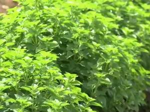 Agricultor faz investimento no plantio de legumes, raízes e plantas (Foto: Reprodução/TV Gazeta)