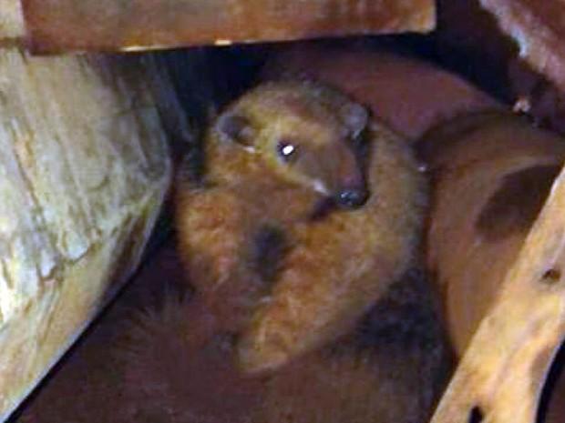 Tamanduá é resgatado dentro de borracharia em Guaxupé (MG) (Foto: Reprodução EPTV)