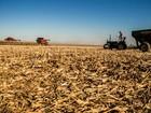 MS colhe a maior safrinha de milho de sua história, 9,040 mi de t