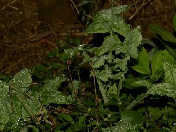 Na área rural, folhas verdes ficaram com gelo (Foto: Reprodução/ TV Morena)