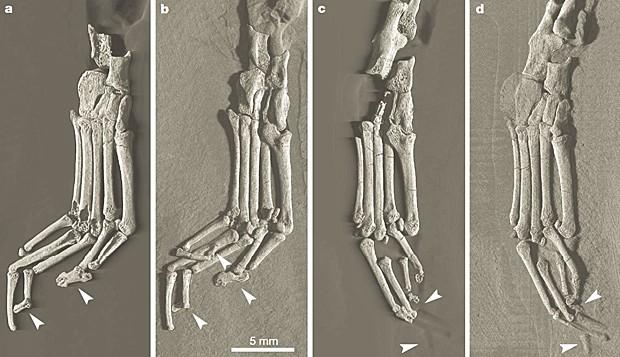 Pé do fóssil visto de vários ângulos. As setas indicam as falanges distais em forma de escudo do primeiro, segundo, terceiro e quinto dedos (Foto: Nature/Divulgação)