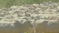 Abates continuam prejudicados no oeste de Mato Grosso