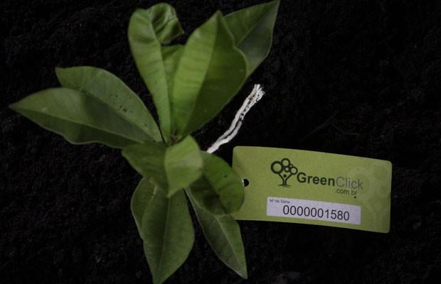 Muda de árvore cultivada pelo Green Click, empresa que faz esses plantios para neutralizar as emissões de dióxido de carbono de páginas na internet. (Foto: Divulgação/Green Click)
