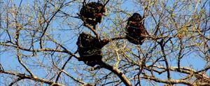 Destruição ameaça refúgio do macaco guariba  (None)