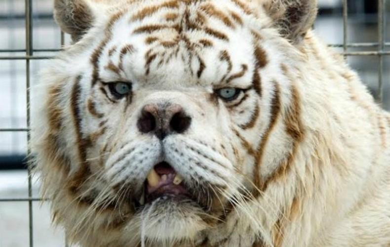 tigre_down02_plaeta_bicho (Foto: Divulgação/Turpentine Creek Wildlife Refuge)