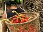 Índios do Peru foram os primeiros a  domesticar palmito cultivado no Brasil