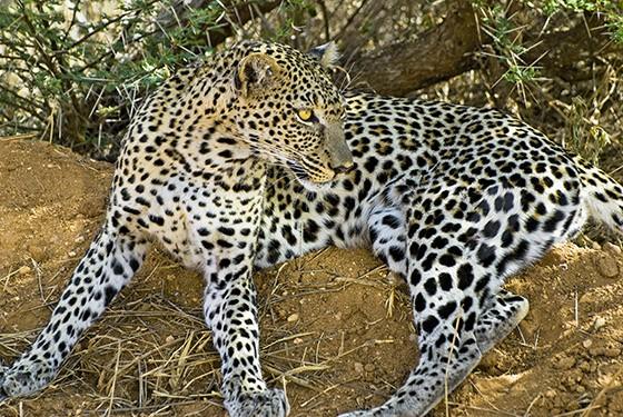 Leopardo deitado em um caminho do Parque Nacional Tsavo-Oeste, em março de 2009 (Foto: © Haroldo Castro/ÉPOCA)