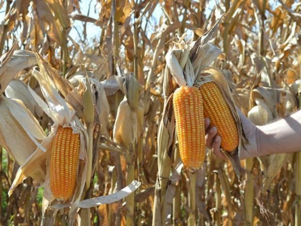 Aprosoja/MS mantém projeção de colheita de 6,2 milhões de toneladas de milho na safrinha em MS (Foto: Aprosoja-MS/Divulgação)