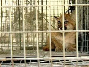 Filhote de onça parda capturado (Foto: Reprodução/ TV Gazeta)