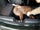 Veado atropelado na BR-282 recebe tratamento em hospital veterinário