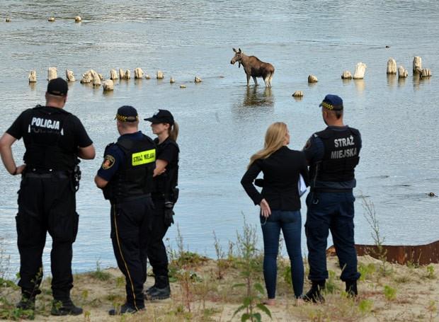 Polícia estava tentando capturar o animal para soltá-lo em uma outra área (Foto: Janek Skarzynski/AFP)