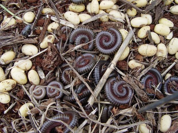Piolho de cobra é uma das pragas que afeta a agricultura e que será abordada pela Caravana da Embrapa (Foto: Ronaldo Bianco/Embrapa)