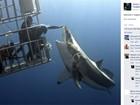 Russo se arrisca e 'acaricia' tubarão branco enorme em mergulho