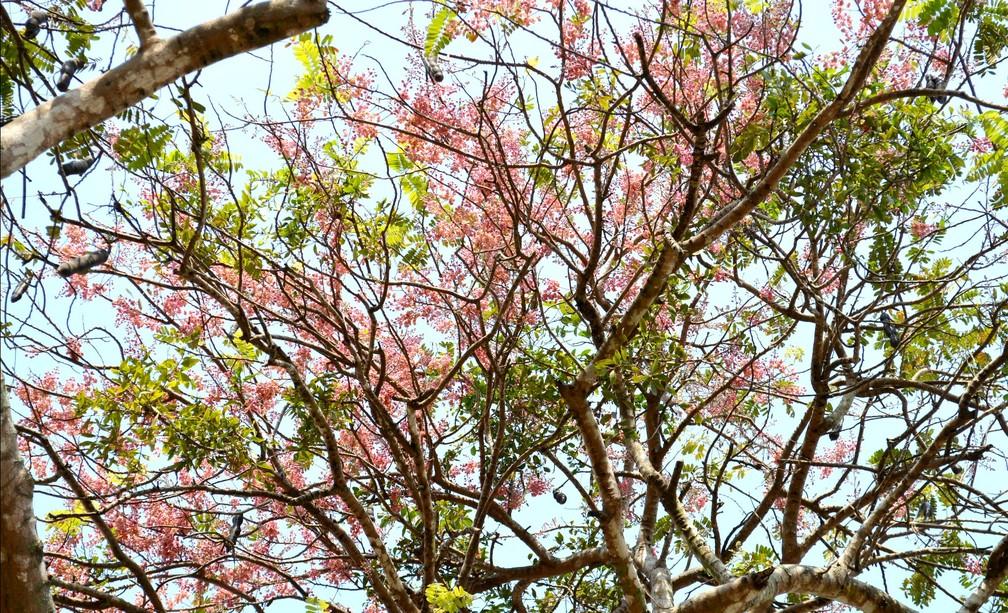 Ipê flori em meio a outra espécie, em Porto Velho (Foto: Mery Suellen/Arquivo Pessoal)
