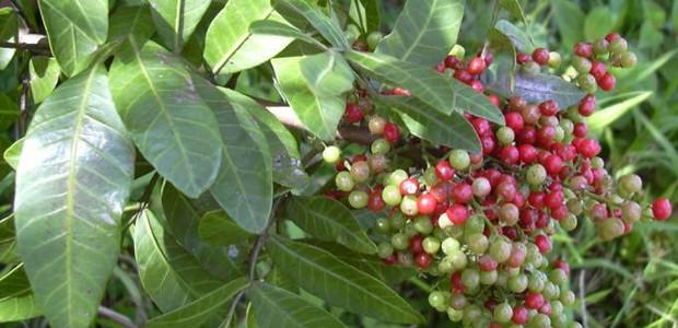 A planta pode ser encontrada também na Florida, no Alabama, na Georgia, no Texas e na California (Foto: Reprodução/ Creative Commons)