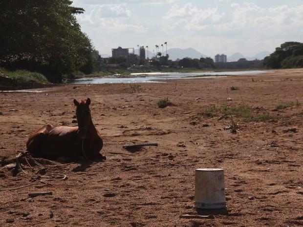 Animal descansa no leito do Rio Paraíba do Sul (Foto:  Hellen Souza/Folha da Manhã )