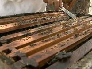No município, prejuízos da apicultura já chegam a R$ 1 milhão. (Foto: Reprodução/ TV Asa Branca)