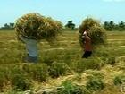 Agricultores de SE comemoram a boa safra de arroz
