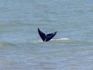 Baleias são avistadas diariamente nesta época do ano (Foto: Rafael Tavares/Instituto Oceano Vivo)