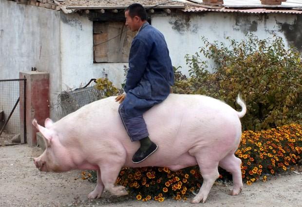 Zhang Xianping chama atenção por andar montado em sua porca de estimação de 600 quilos (Foto: Reuters)