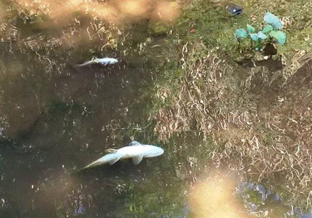 Peixes morreram por asfixia, afirma a Prefeitura (Foto: Divulgação / Corpo de Bombeiros Voluntários)