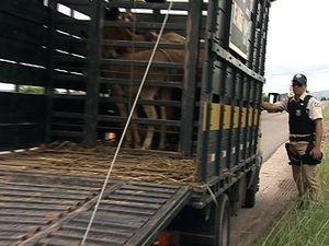 PRF apreende animais na pista (Foto: Reprodução/TV Sergipe)