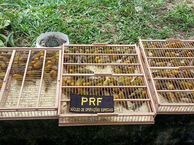 Aves estavam distribuídas em três gaiolas na mala do carro dos suspeitos (Foto: Divulgação/PRF)