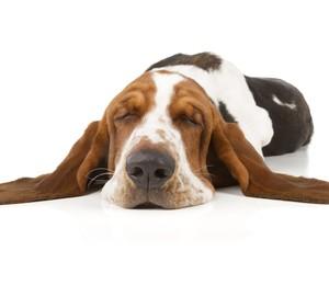 Cães da raça Basset hound costumam ter mais predisposição a otohematomas (Foto: Thinkstock)