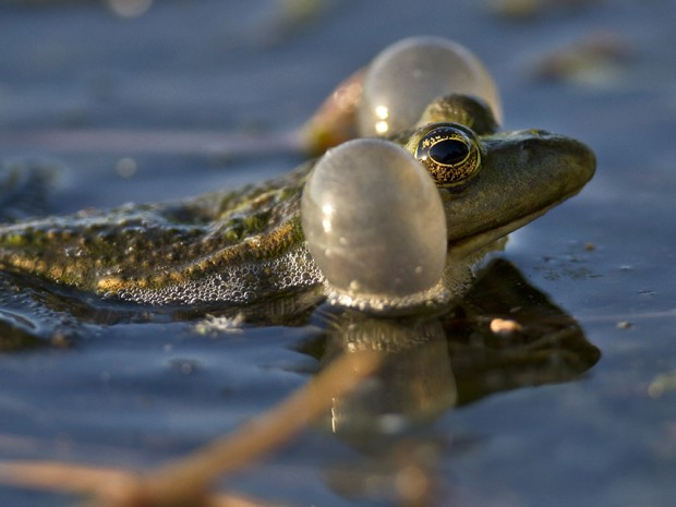 Sapo é visto com 'bochechas' infladas similares a boias em lago em Bucharest, na Romênia (Foto: Vadim Ghirda/AP)