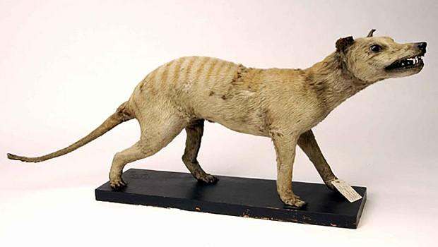 Lobo-da-Tasmânia empalhado em museu; último exemplar morreu em 1936 (Foto: Divulgação/Museu Ulster)