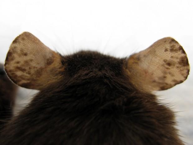 Imagem mostra áreas de repigmentação na orelha de camundongo com vitiligo. (Foto: John E. Harris, MD, PhD/Divulgação)