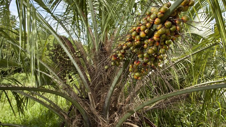 agricultura_butia_fruta (Foto: Marcelo Curia/Ed. Globo)