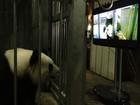 Cientistas usam 'pornô panda' para acasalar bichos da espécie ameaçada