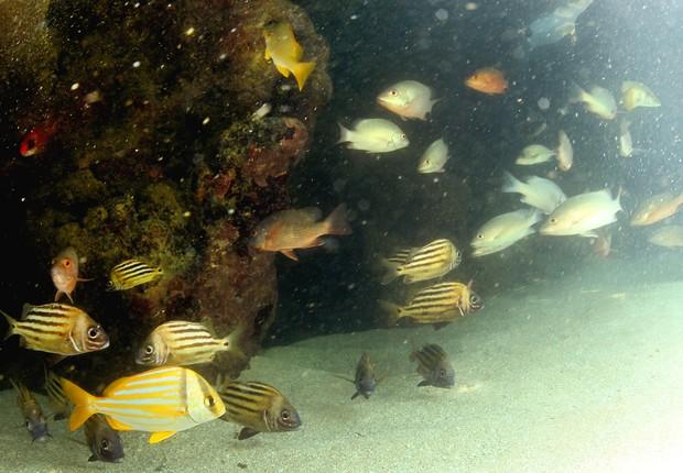 Peixes na costa brasileira (Foto: Divulgação/SOS Mata Atlântica)