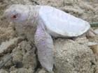 Vídeo capta nascimento raro de tartaruga albina na Austrália