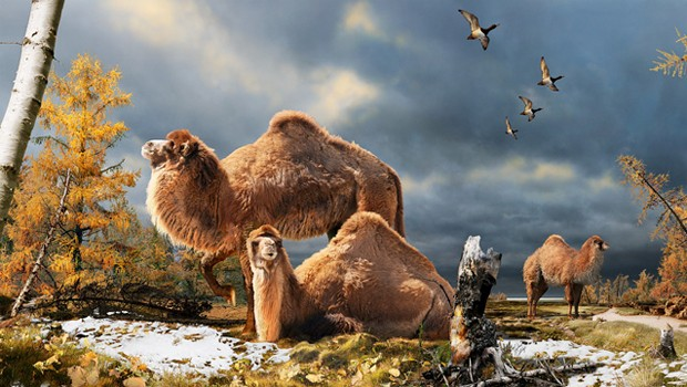 Ilustração mostra camelo pré-histórico que teria vivido na Ilha de Ellesmere, na região do Ártico (Foto: Divulgação/Julius Csotonyi/Museu Canadense de Natureza)