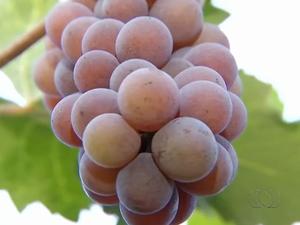 Plantação de uva fica em Lagoa da Confusão (Foto: Reprodução/TV Anhanguera)
