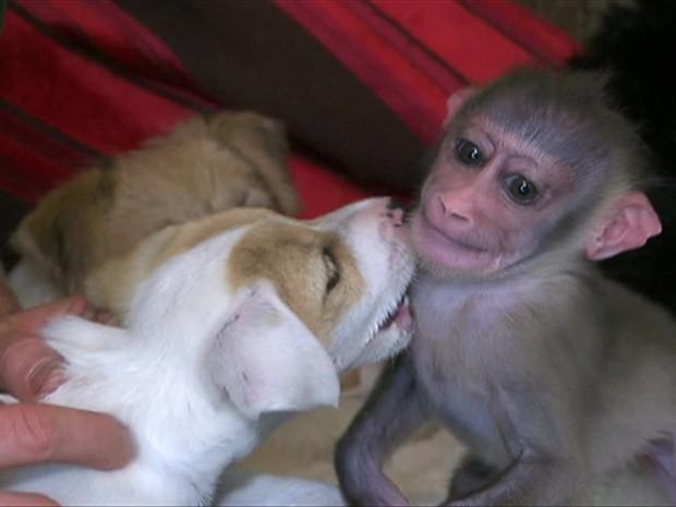 Macaca drill mora temporariamente com funcionário de zoológico e seus cachorros (Foto: BBC)