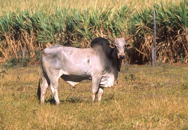 Zebu - gado - boi - zebu brasil (Foto: Wikimedia Commons)