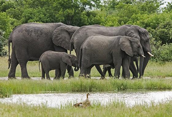 Uma família de elefantes em uma poça d'água em Savuti, Parque Nacional Chobe (Foto: © Haroldo Castro/ÉPOCA)