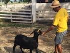 Único clone ovino do Brasil, criado por universidade do CE, está prenhe