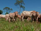 Preço baixo faz pecuarista segurar o gado pronto para abate em MS