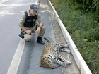 Onça pintada de 80kg morre após ser atropelada em rodovia, no Amazonas