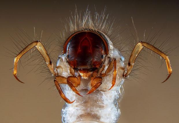 As pernas e a cabeça de uma espécie de larva foi capturada pelo microscópio do francês Fabrice Parais (Foto: Divulgação/Fabrice Parais/2013 Olympus BioScapes Digital Imaging Competition)