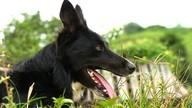 Cães são treinados para o pastoreio em Cachoeiro
