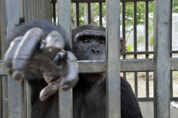 Chimpanzé Chara, ainda no Líbano (Foto: Animals Lebanon/Divulgação)