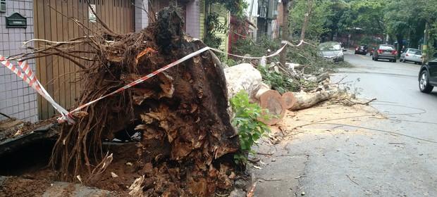Árvore derrubada por uma tempestade em São Paulo. Muitas árvores estão doentes ou espremidas nas calçadas (Foto: Alexandre Mansur)