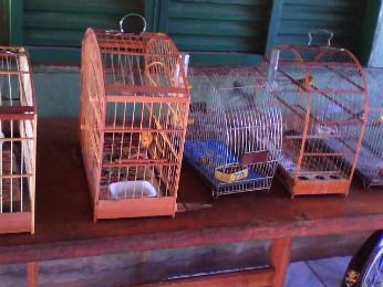 Pássaros serão soltos após serem avaliados por veterinário (Foto: Divulgação/ Polícia Militar Ambiental)