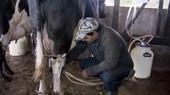 Com auxílio da Emater, criadores conseguem aumentar a produção de leite