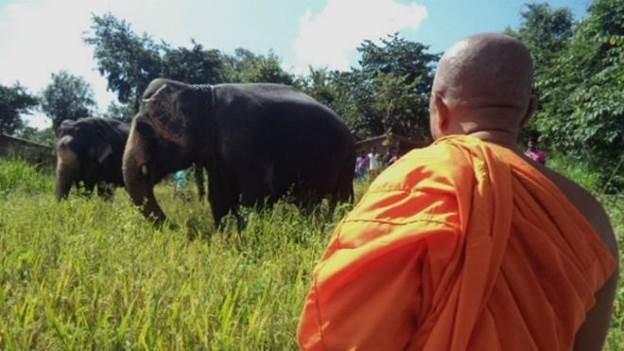 Monge observa enquanto elefantes se alimentam em lavoura de arroz (Foto: BBC)